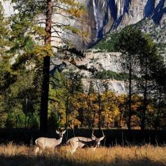 Two Deer and Yosemite Falls (YOS-011)